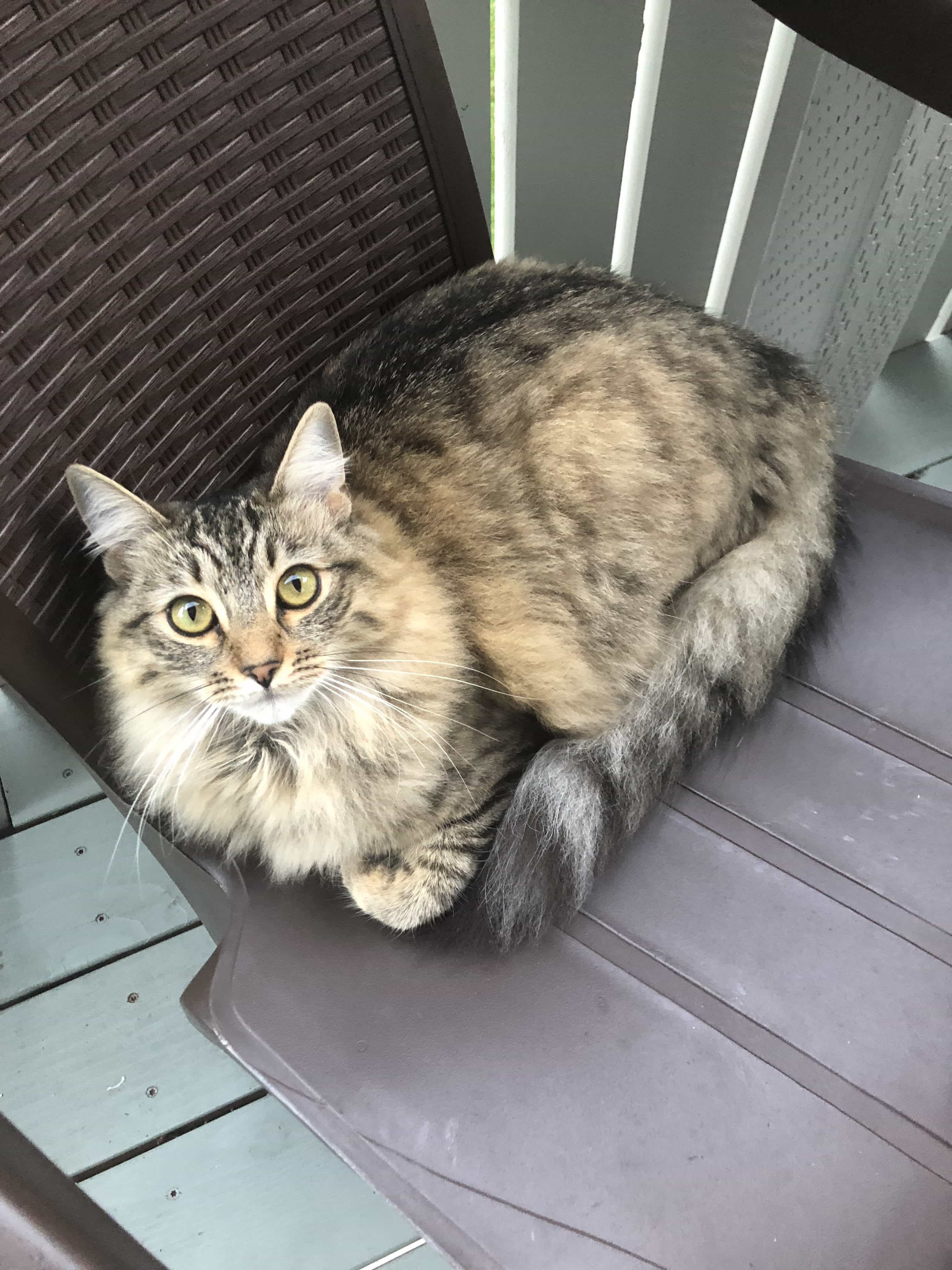 Arya my siberian cat in a plastic chair on our deck.